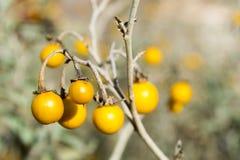 Jadowity Horsenettle, Solanum carolinense, roślina obraz royalty free