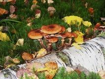 Jadowity niejadalny pieczarka grzyb Zdjęcie Stock