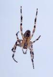 jadowity pająk fotografia stock