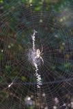 Jadowity pająk na pajęczynie zdjęcie royalty free
