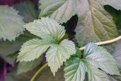 Jadu bluszcza roślina zdjęcie stock
