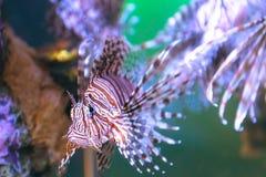 Jadu lwa ryba koralami fotografia royalty free