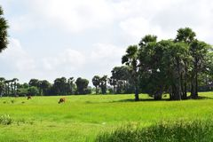Village farming paddy filed with cows stock images