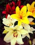 Jag älskar liljor fotografering för bildbyråer