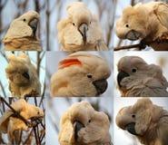 Jag är kelig mig är den moluccan kakaduan Fotografering för Bildbyråer