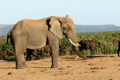 Jag är STOR den afrikanska Bush elefanten Arkivbilder