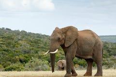 Jag är vägen till STORT den afrikanska Bush elefanten Fotografering för Bildbyråer