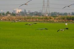 Den öppna räkningen ibis Royaltyfria Bilder