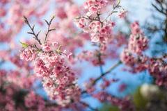 Jag gillar den körsbärsröda blomningen Arkivfoto