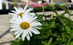 Jag gillar dessa blommor, därför att du kan finna dem någonstans och dem Arkivfoton