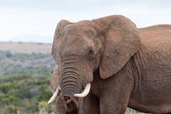 Jag vet dig - den afrikanBush elefanten Arkivfoton