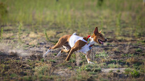 jaga Basenji hundspring på fältet Fotografering för Bildbyråer