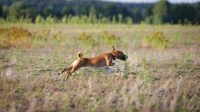 jaga Basenji hundspring på fältet Royaltyfria Bilder