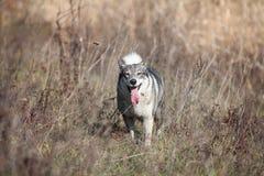 Jaga den eskimo hunden i torrt gräs arkivfoto