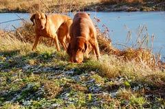 jaga för hundar Fotografering för Bildbyråer
