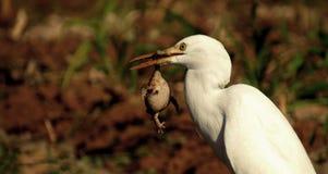 Jaga för hungern i djungel fotografering för bildbyråer