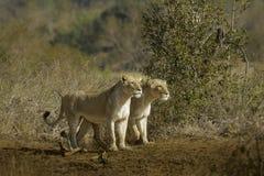 Jaga för lejoninnor Royaltyfri Bild