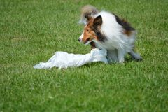 Jaga för Shetland fårhund Royaltyfria Foton