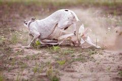 jaga Hundkapplöpningwhippetfullföljande saknar draget Royaltyfria Bilder