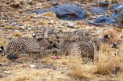 Jaga lösa afrikanska geparder i savannahen av Namibia Royaltyfri Foto