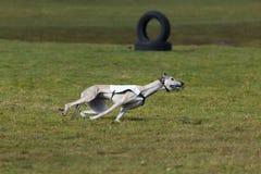 Jaga lopphunden Royaltyfri Fotografi