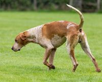 Jaga packen från Derwent hundar på landsshowen royaltyfri bild