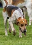 Jaga packen från Derwent hundar på landsshowen fotografering för bildbyråer