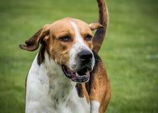 Jaga packen från Derwent hundar på landsshowen arkivbilder