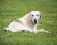 Jaga packen från Derwent hundar på landsshowen arkivfoto