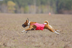 Jaga, passion och hastighet HundkapplöpningBasenji spring Royaltyfria Bilder