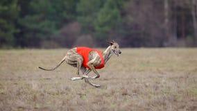 Jaga, passion och hastighet Hundvinthundspring Arkivfoton