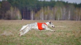 Jaga, passion och hastighet Russkaya psovayaborzaya Arkivfoton