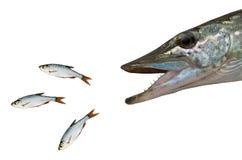 Jaga pikfisken Arkivfoto