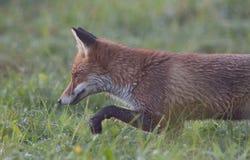 Jaga räven Royaltyfria Foton
