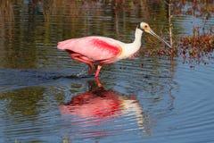 jaga vatten för roseate spoonbill Royaltyfri Bild