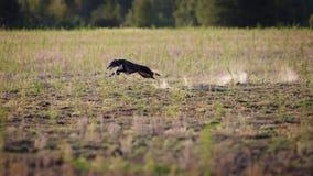 jaga Whippethunden förföljer bete Royaltyfria Bilder