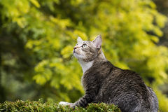 Jagd der grauen Tabby-Katze Stockbild