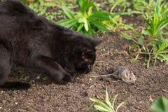 Jagd der schwarzen Katze und Fangmaus Stockfotos