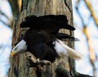 Jagd des amerikanischen kahlen Adlers Lizenzfreie Stockfotos
