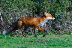 Jagd des roten Fuchses stockfotos