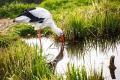 Jagd des weißen Storchs Lizenzfreie Stockbilder