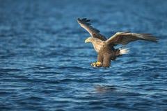 Jagd Eagle Attacking Prey Lizenzfreie Stockbilder