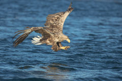 Jagd Eagle Attacking Prey Lizenzfreie Stockfotos