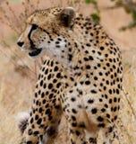 Jagd-Gepard Stockfotografie