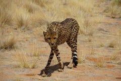 Jagd-Gepard stockbilder