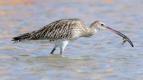 Jagd-großer Brachvogel am Sharm el-Sheikh-Strand von Rotem Meer Lizenzfreies Stockbild