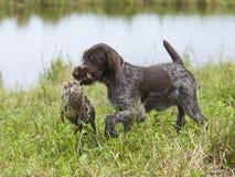 Jagd-Hund, der eine Ente zurückholt stockbild