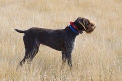 Jagd-Hund im Punkt lizenzfreies stockbild