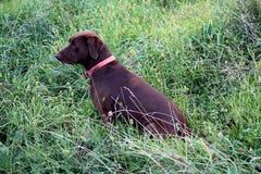 Jagd-Hundeaufwartung Stockfoto