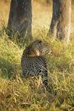 Jagd-Leopard Lizenzfreie Stockfotografie